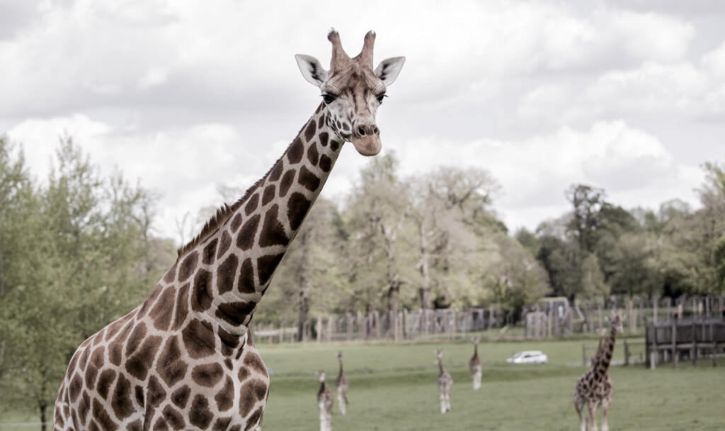 woburn_safari_park_giraffe_1500