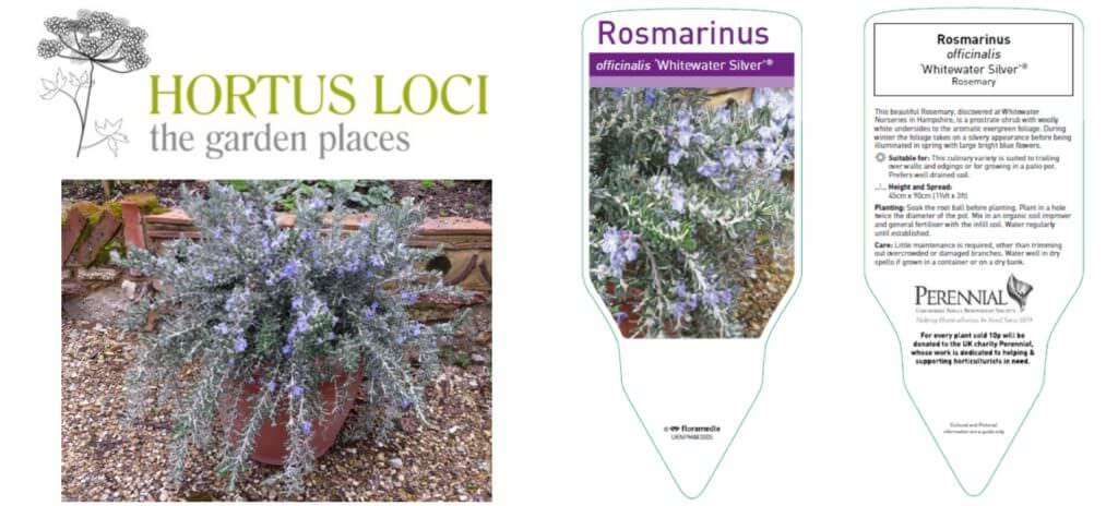 Rosemarinus_officinalis_Whitewater_Silver_collage
