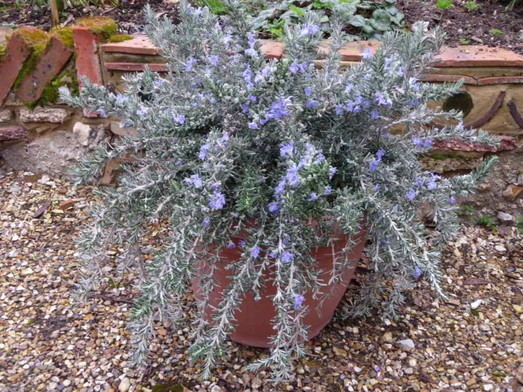 Rosmarinus-officinalis-Whitewater-Silver-weeping-rosemary-evergreen-spring-flowering-shrubs-for-patio-pots